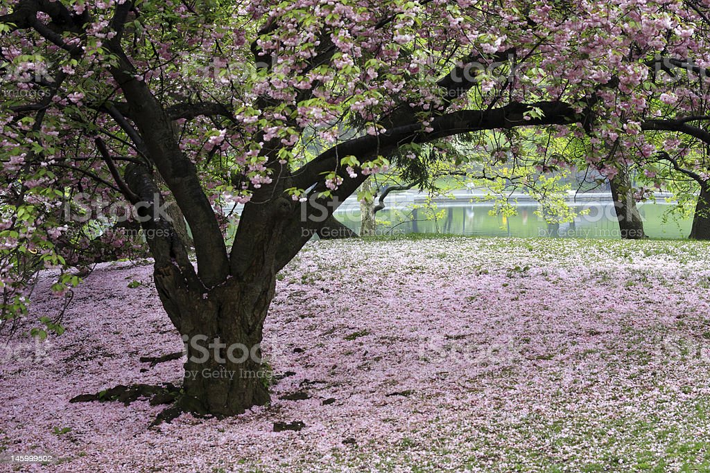 Japanede cherry tree royalty-free stock photo