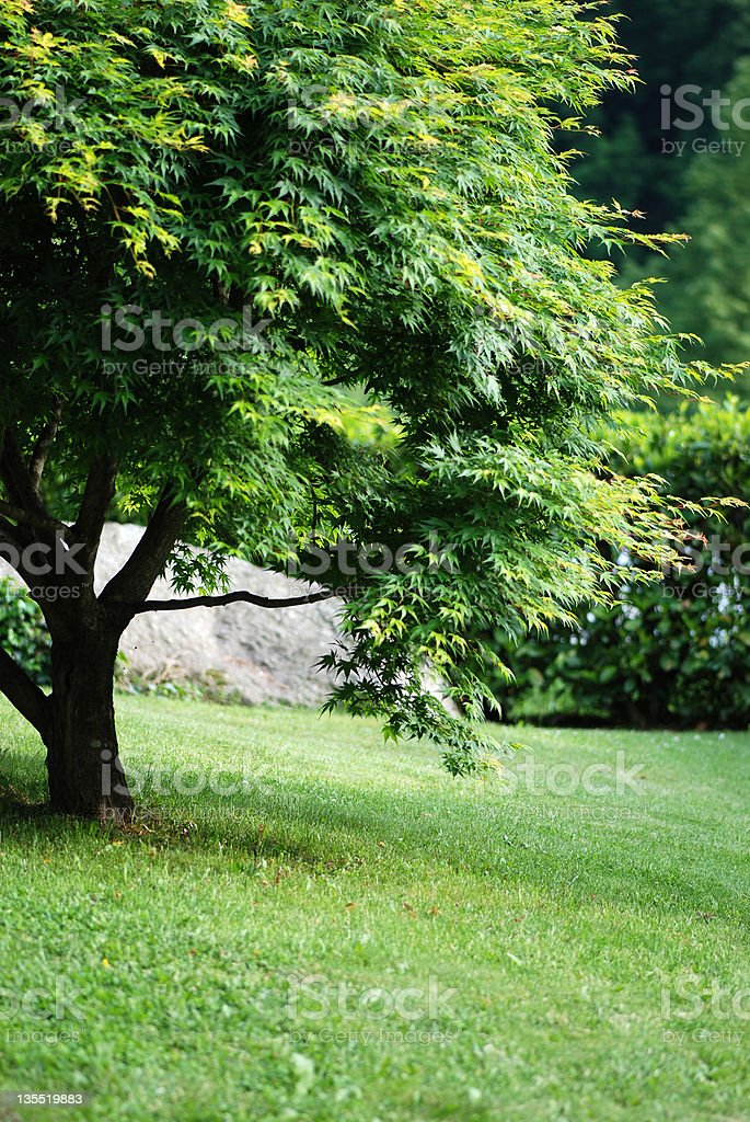 Japanese acer in garden with grass and copy space royalty-free stock photo