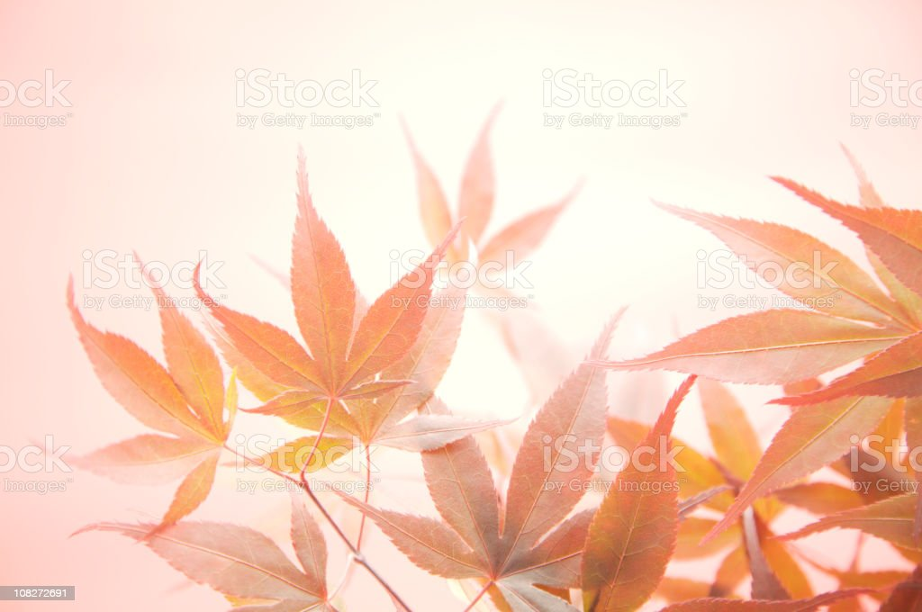 Japanese Acer leaf abstract royalty-free stock photo