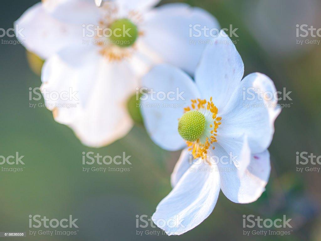 Japanese Anemone in sunlight stock photo