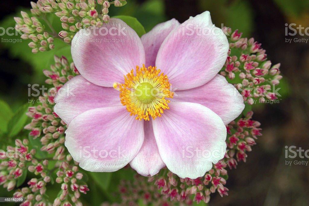 Japanese Anemone royalty-free stock photo