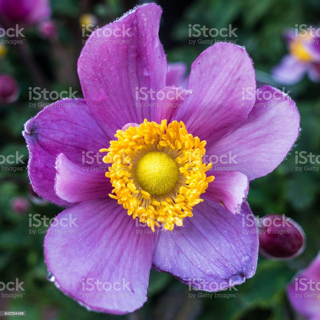 Japanese Anemone stock photo