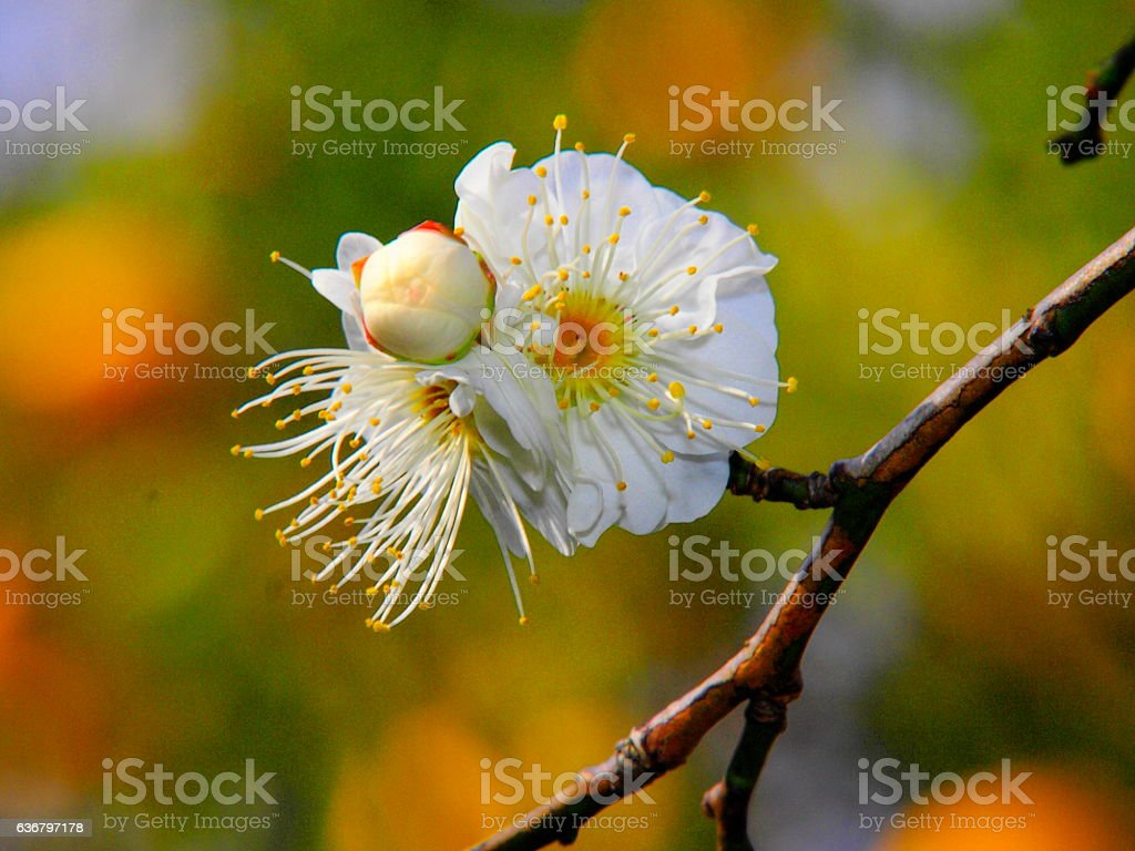Japanese apricot blossoms stock photo