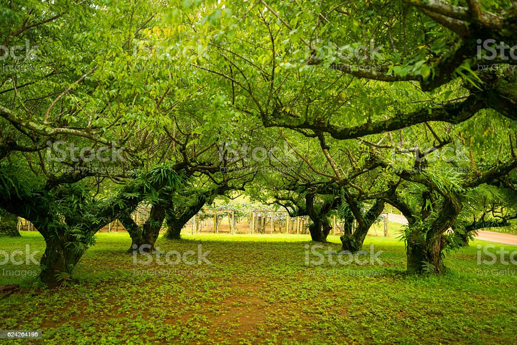 Japanese apricot  garden. Soft focus. stock photo