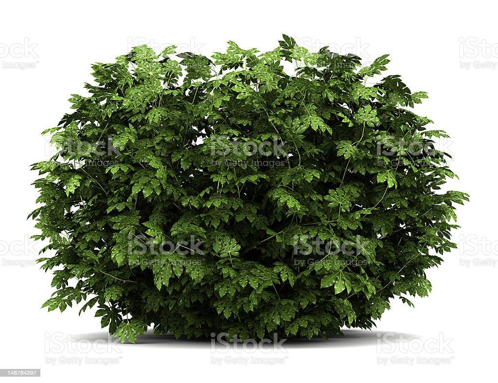 japanese aralia bush isolated on white background stock photo