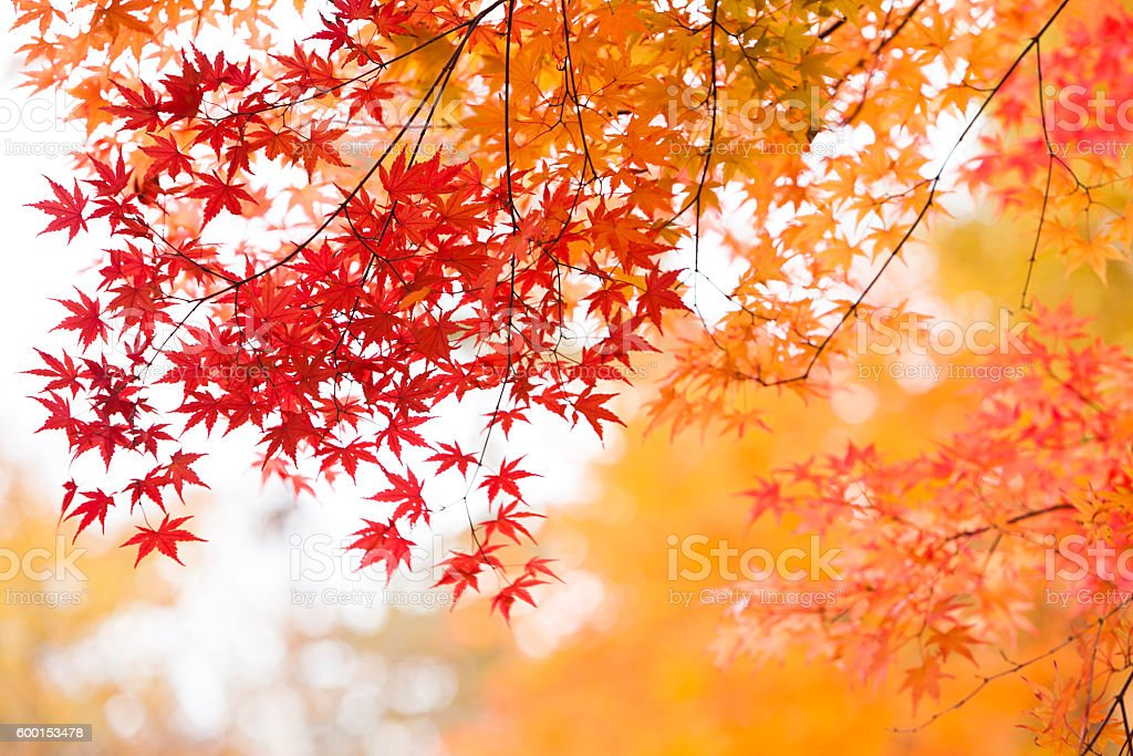 Japanese Autumn Colors stock photo