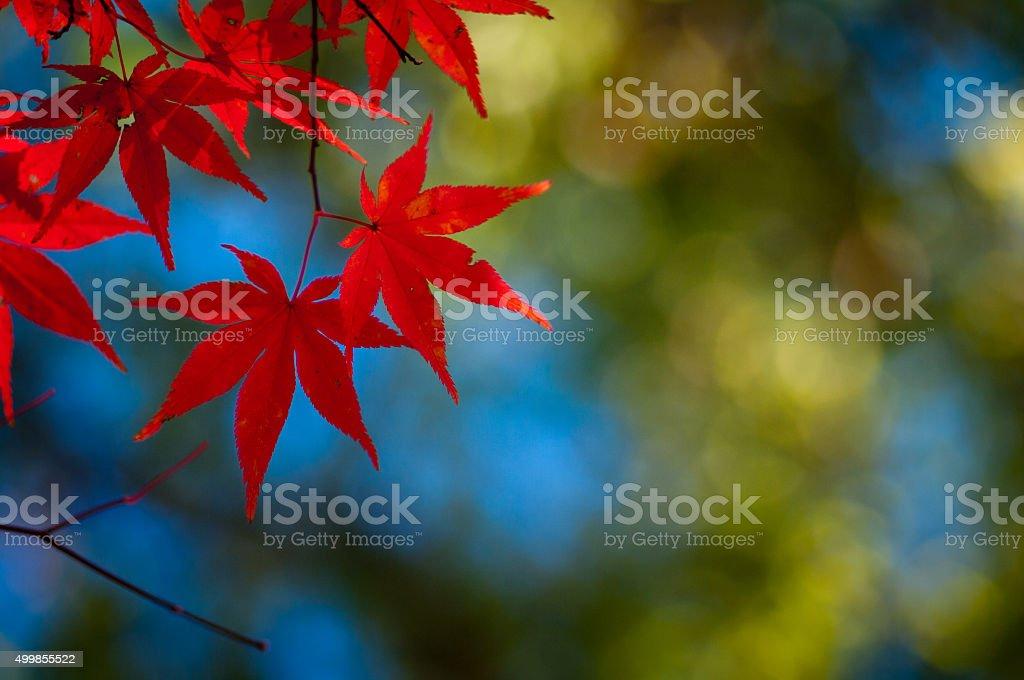 japanese autumn leaf stock photo