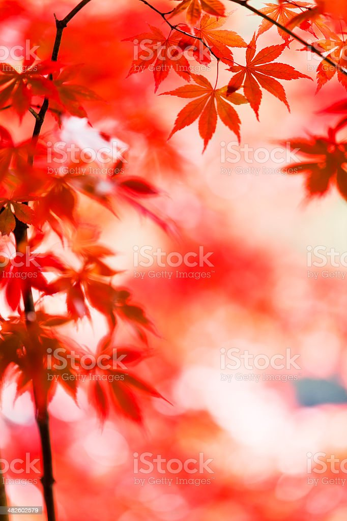 Japanese Autumn leaves royalty-free stock photo