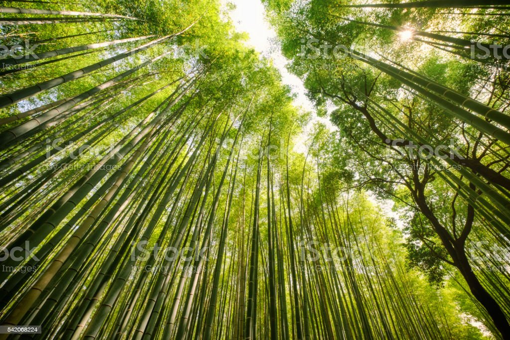 Japanese Bamboo Forest stock photo