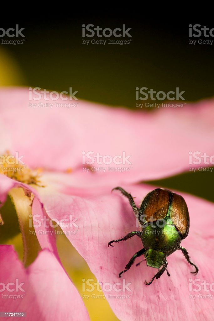 Japanese Beetle eating a rose royalty-free stock photo