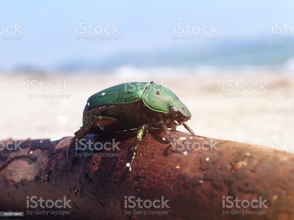 Japanese beetle on a beach. stock photo