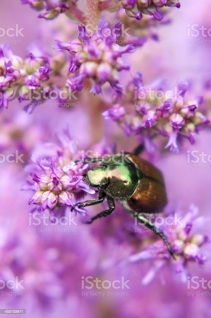 Japanese Beetle on Pink Astilbe stock photo