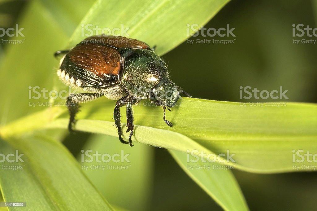 Japanese Beetle royalty-free stock photo
