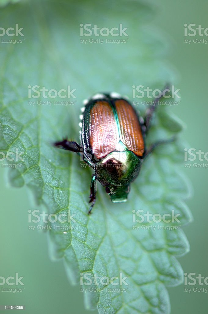 Japanese Beetle royalty-free stock photo