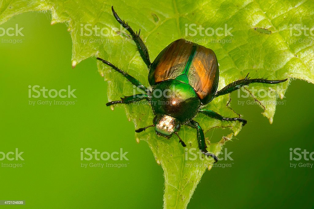 Japanese Beetle stock photo