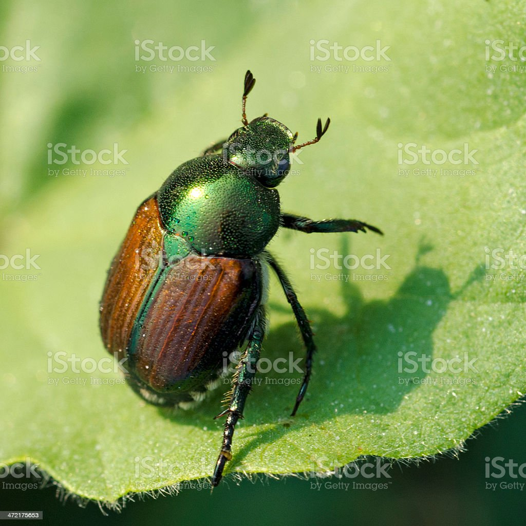 Japanese beetle, Popillia japonica stock photo
