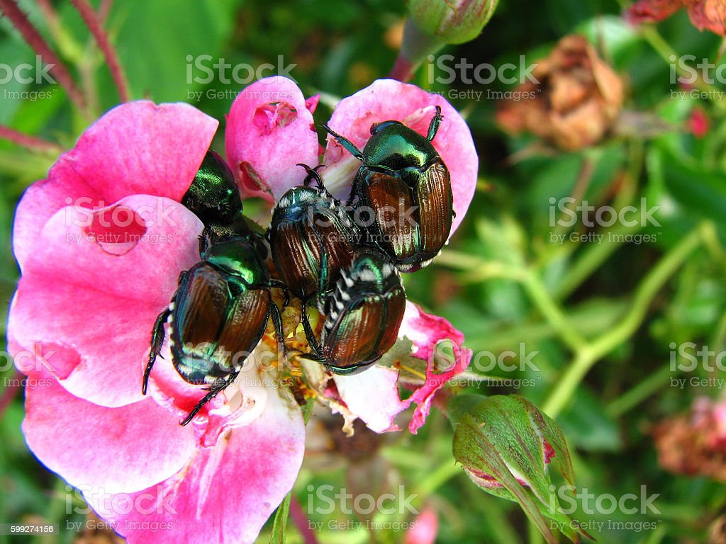 Japanese beetles eating a rose flower. stock photo
