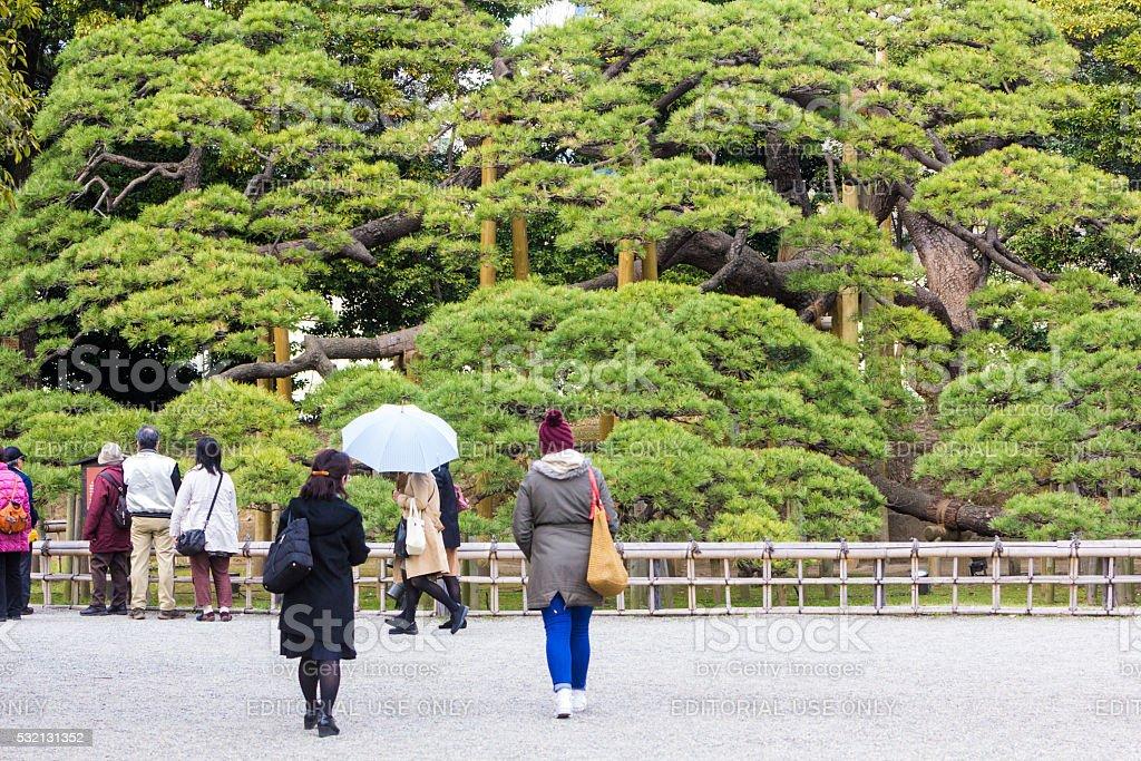 Japanese Black Pine in Tokyo, Japan stock photo