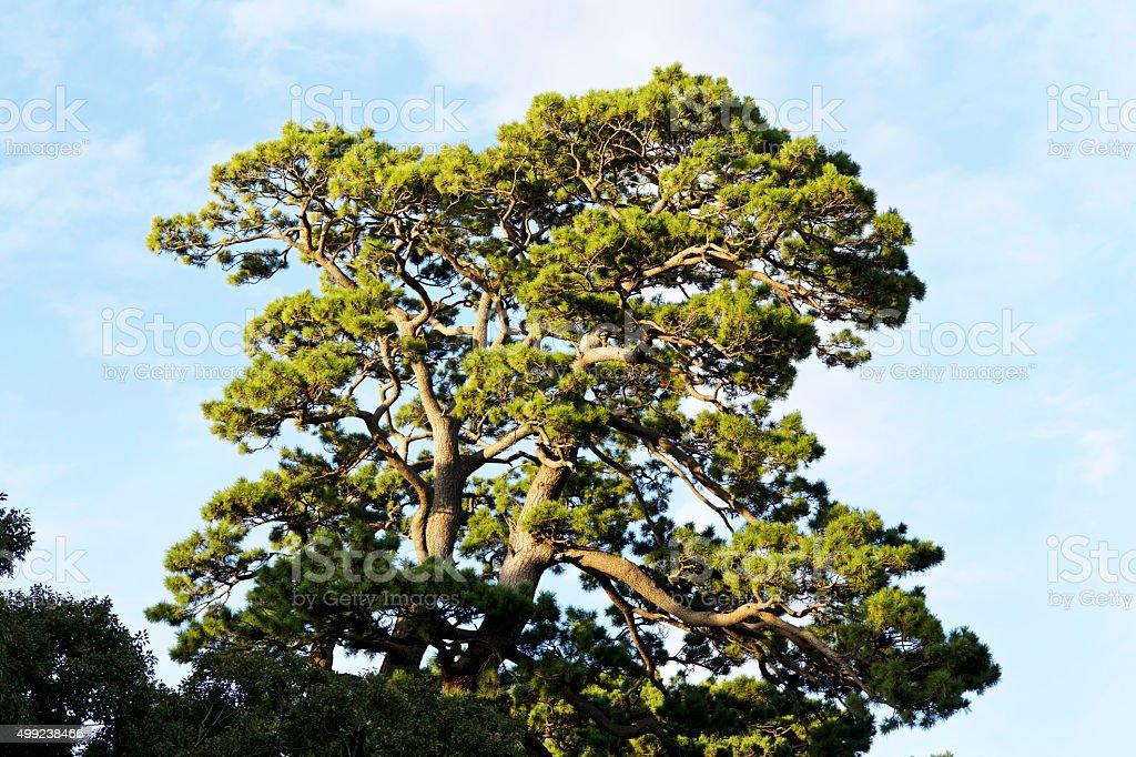 Japanese black pine stock photo
