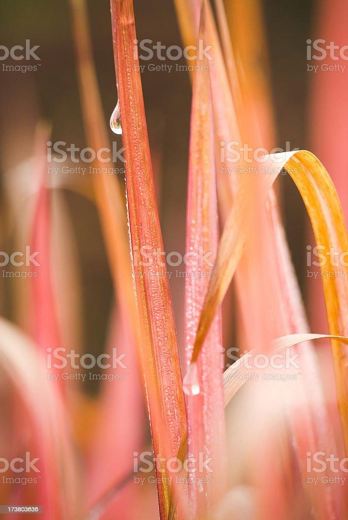 Japanese Blood Grass - IV stock photo