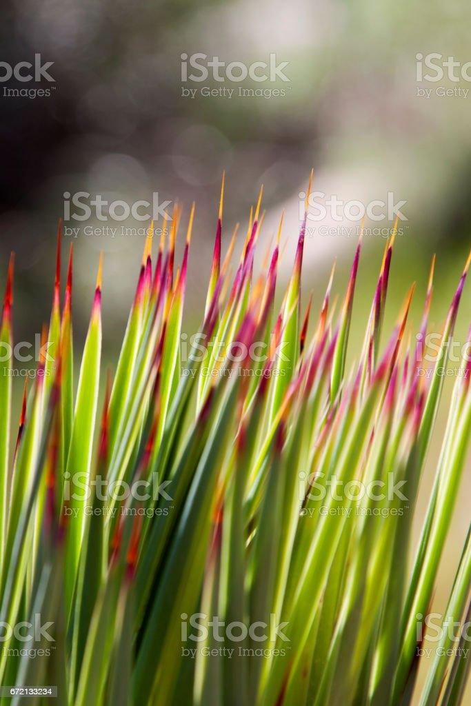 Japanese Blood Grass stock photo