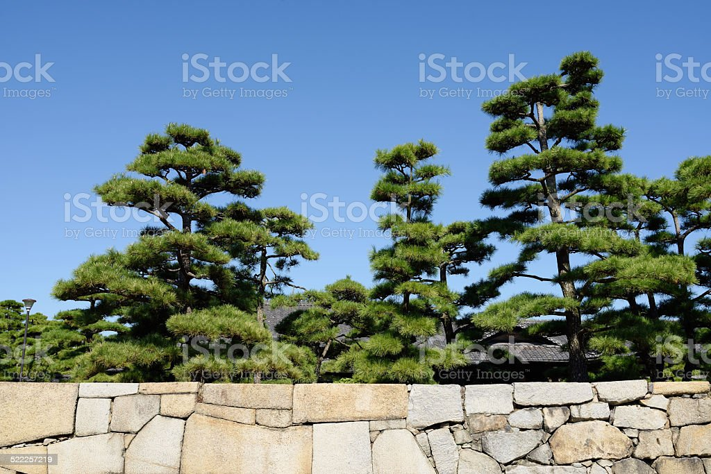 Japanese bonsai pine tree stock photo