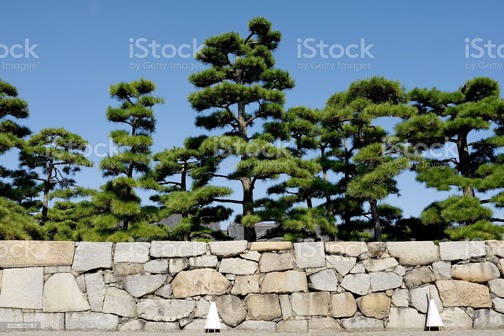 Japanese bonsai pine tree stock photo