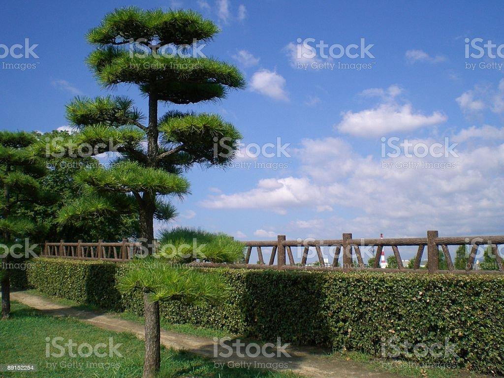 Japanese bonsai pine tree royalty-free stock photo