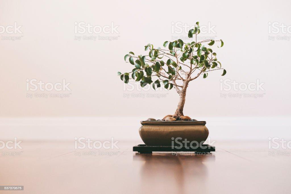 Japanese Bonsai Tree stock photo