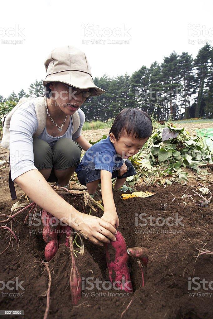 Japanese boy harvesting sweet potato stock photo
