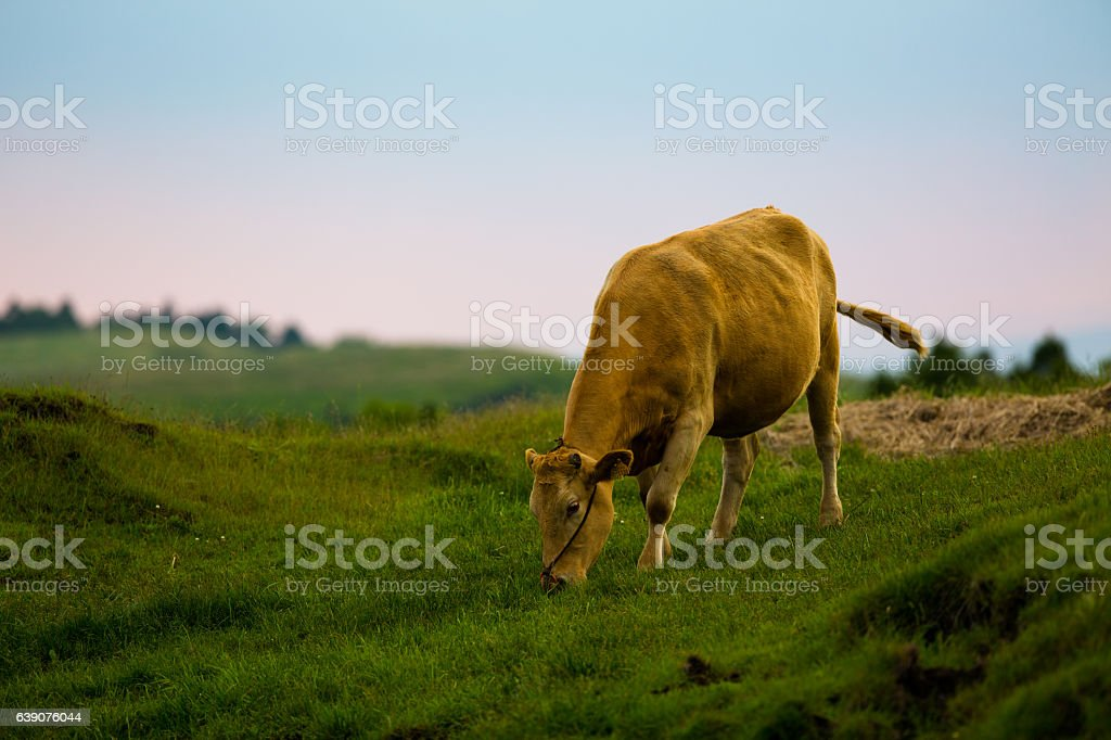 japanese brown cattle in Aso stock photo