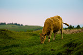 japanese brown cattle in Aso