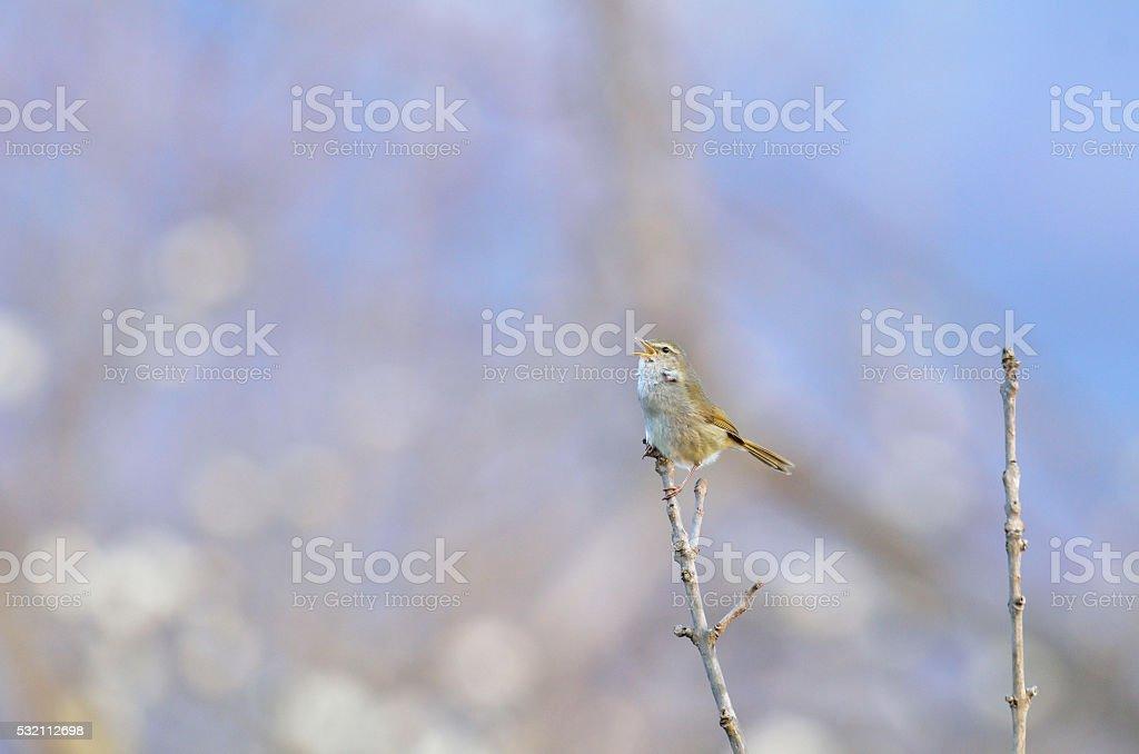 Japanese Bush Warbler stock photo