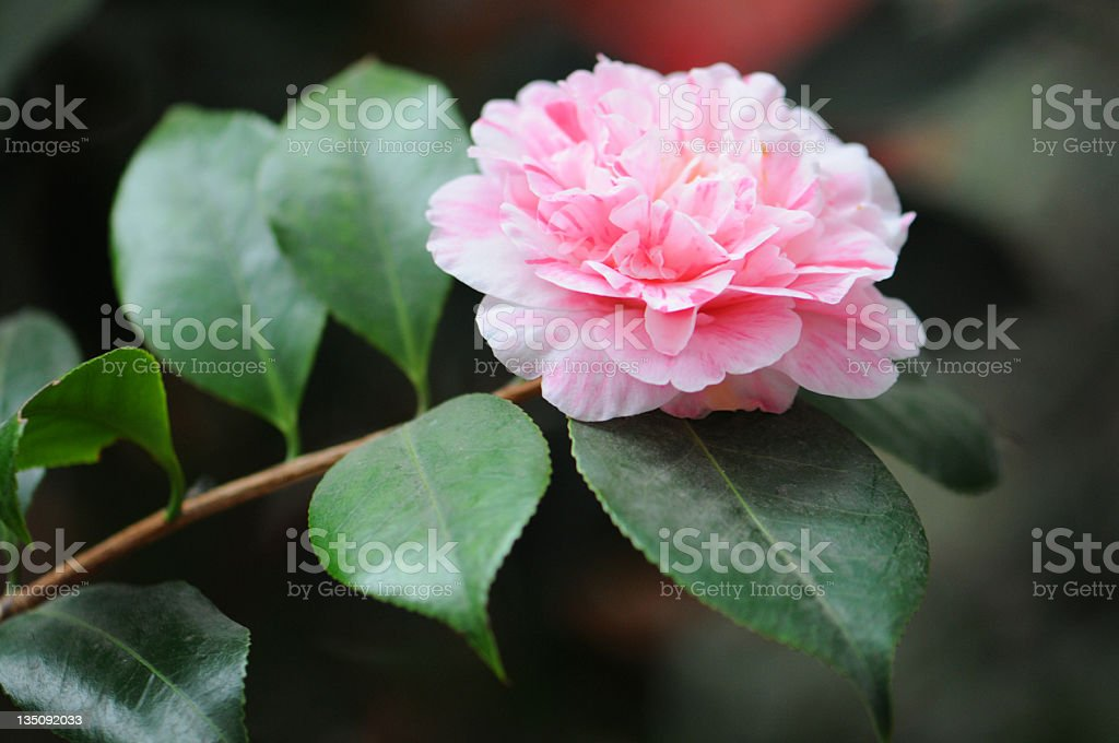 Japanese Camellia (Camellia japonica) royalty-free stock photo