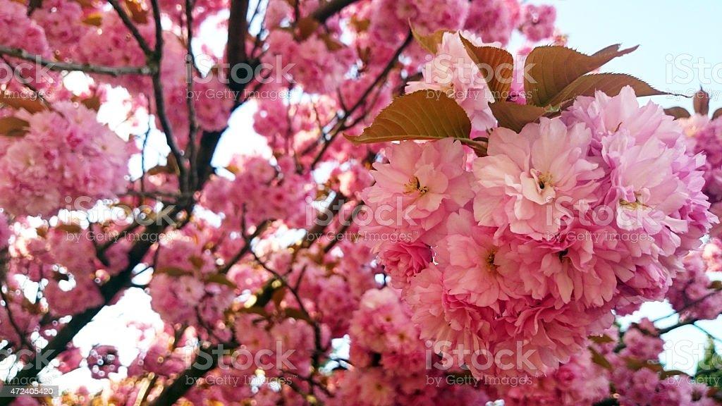 Japanese cherries blooming stock photo