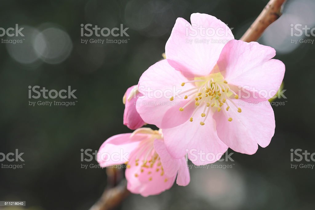 Japanese cherry blossom blooming in the blurry mood stock photo