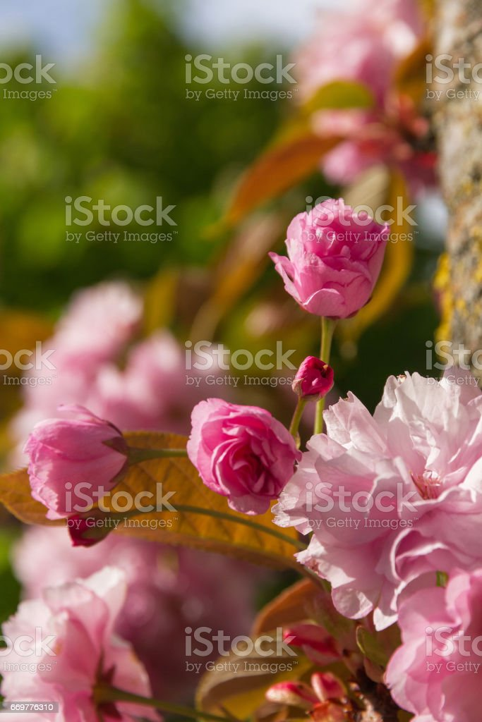 Japanese Cherry Blossom - Flor de Cerezo Japones stock photo