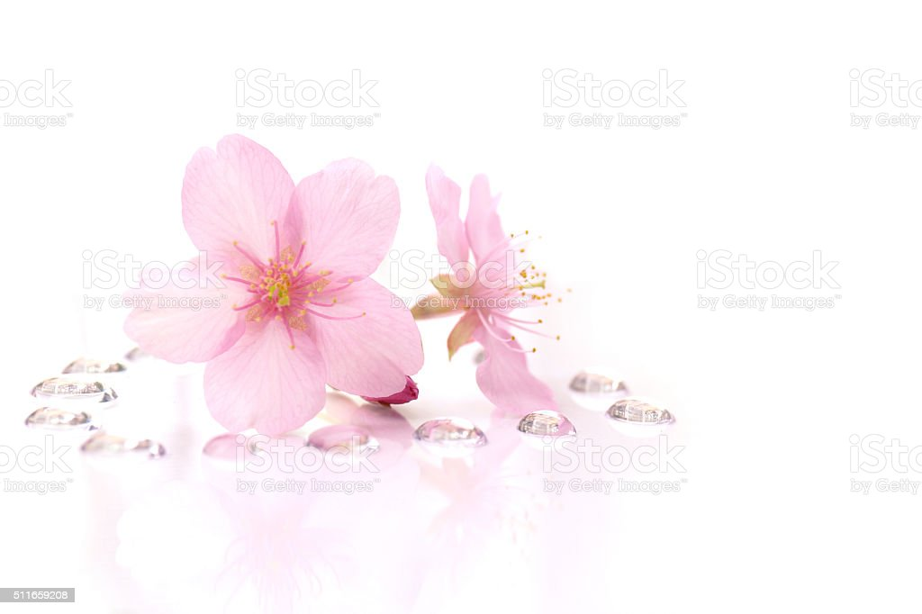 Japanese cherry blossom flowers and the dew drops #2 stock photo
