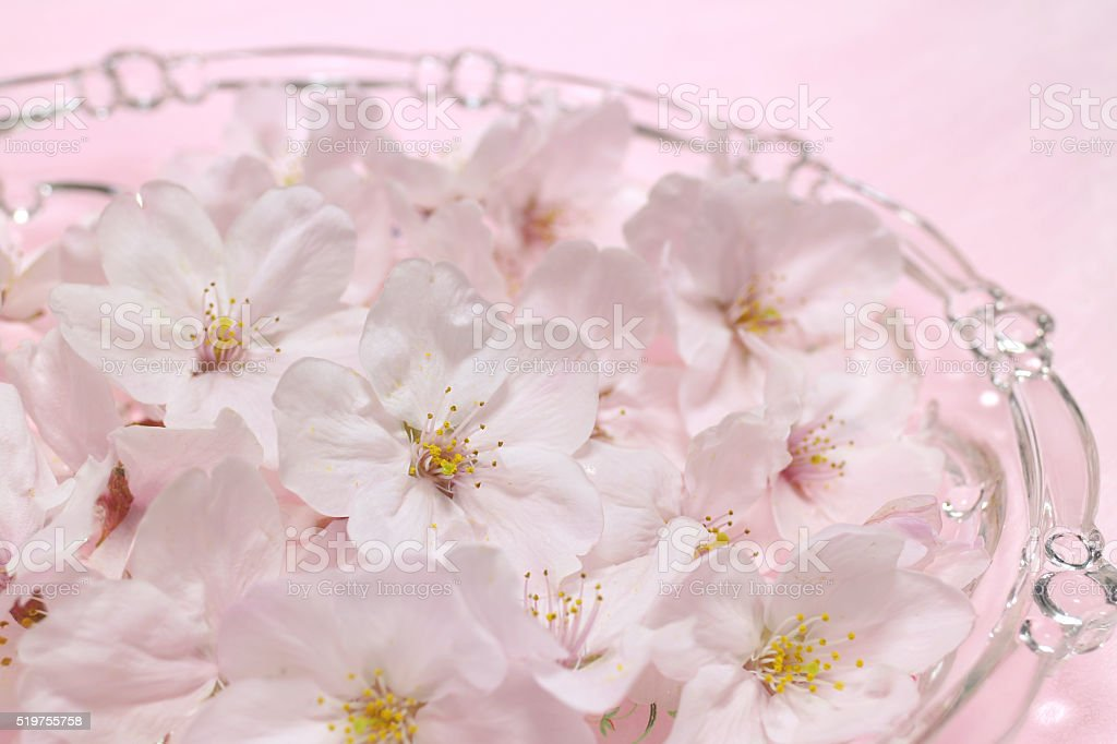 Japanese cherry blossom flowers in pink mood stock photo