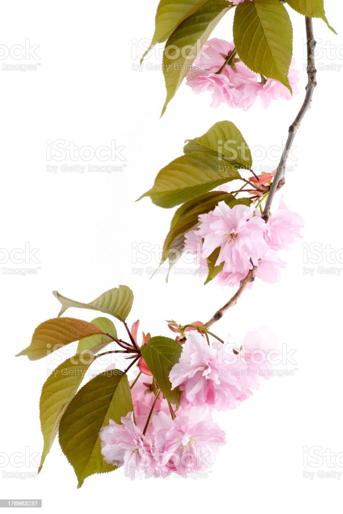 japanese cherry blossom royalty-free stock photo