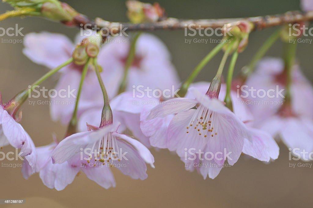 Japanese Cherry Blossom royalty-free stock photo