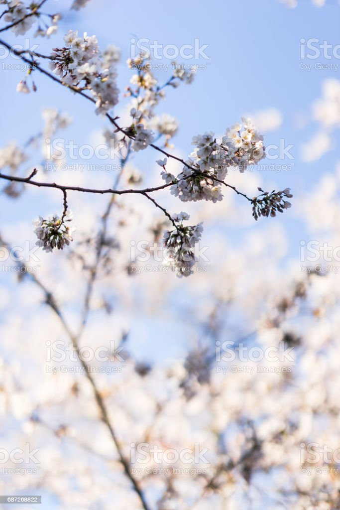 Japanese cherry blossom trees in the morning light. stock photo