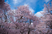 Japanese cherry blossoms in full bloom and fine weather