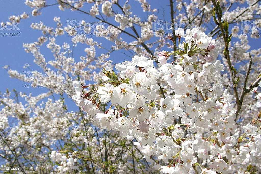 Japanese Cherry Blossoms royalty-free stock photo