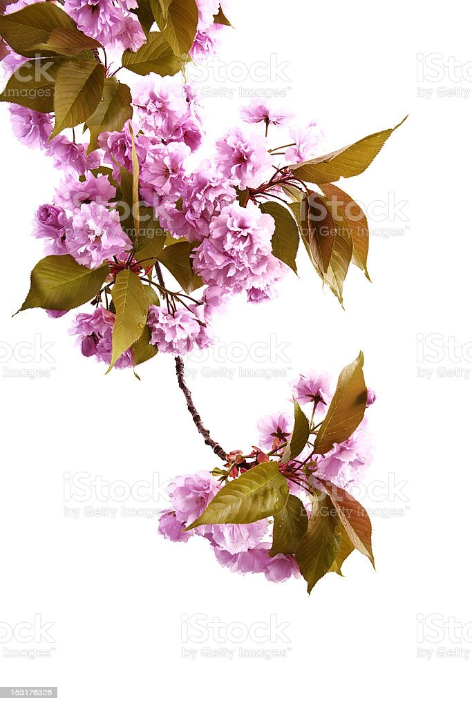 Japanese Cherry royalty-free stock photo
