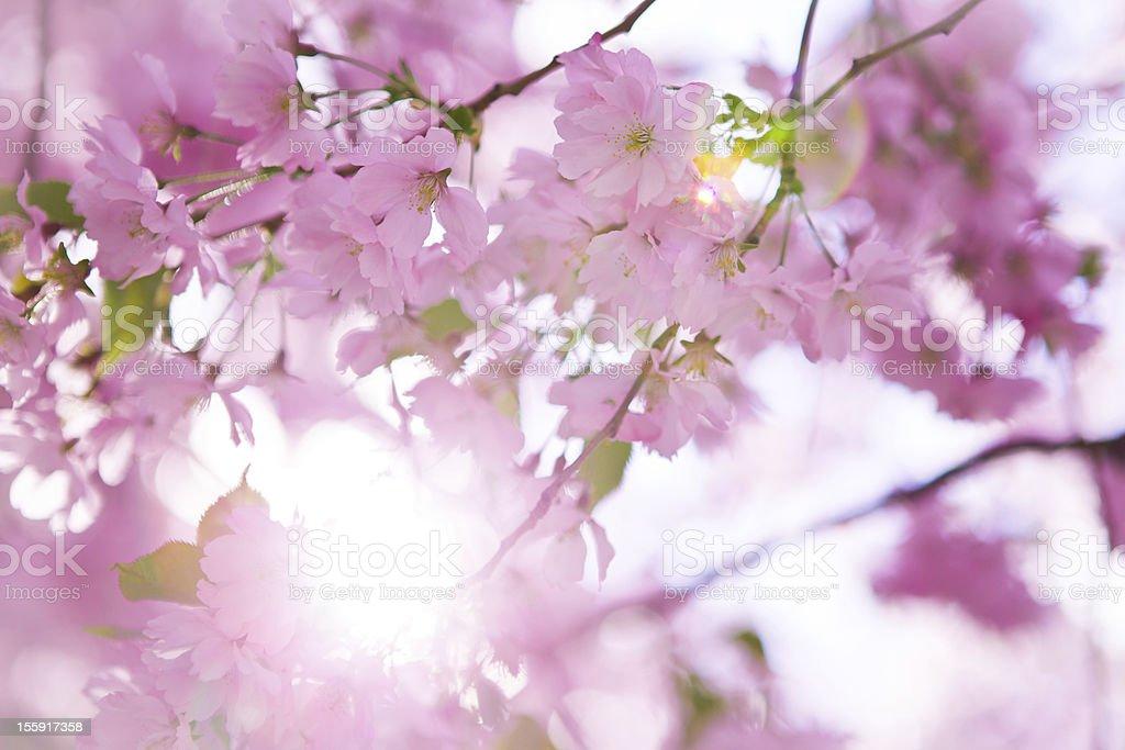 Japanese cherry tree in blossom royalty-free stock photo