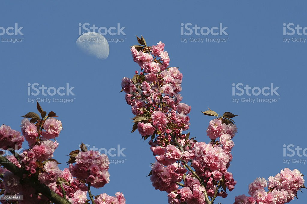 Japanese cherry tree with day moon behind royalty-free stock photo
