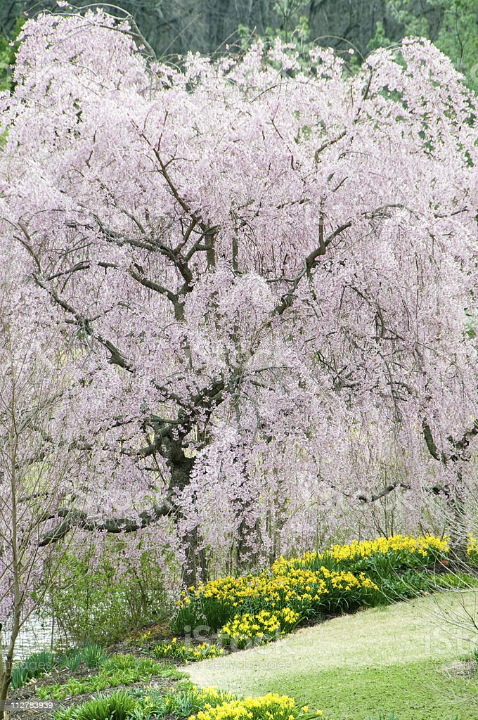 Japanese cherry trees royalty-free stock photo