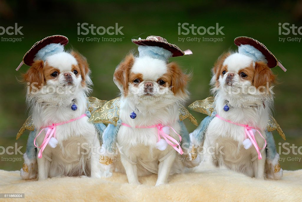 Japanese Chin Dog in Fancy Dress - Composite Portrait stock photo
