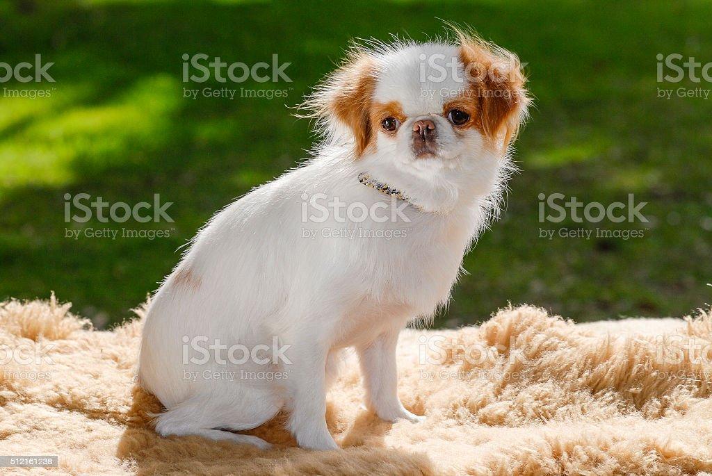 Japanese Chin Dog Portrait stock photo